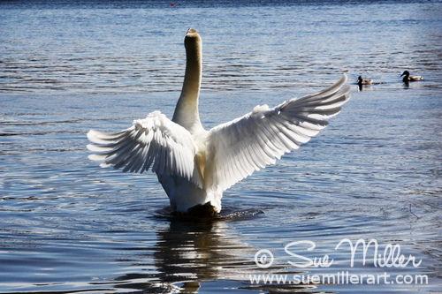 1 Swans Wings