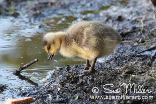 Baby Goose Drinking