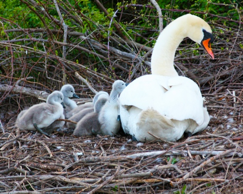 1BABY SWANS WITH MOM
