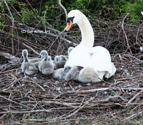 1BABY SWANS WITH MOM 2