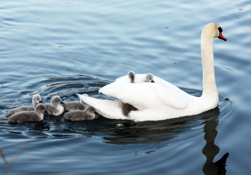 1 MOM SWAN CARRYING BABIES