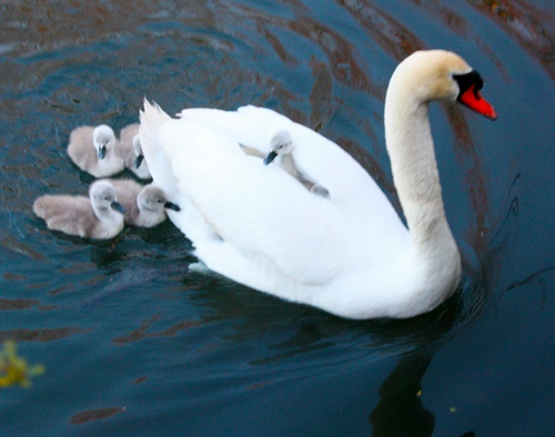 1 MOM SWAN CARRYING BABIES 3