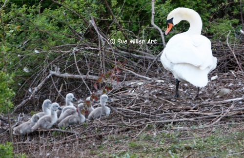 1MOM SWAN PUTTING BABIES BACK IN NEST END OF DAY