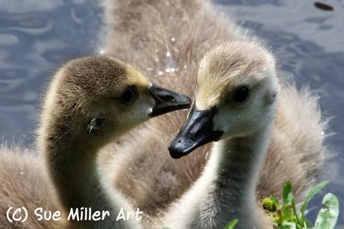 2 Goose Chicks