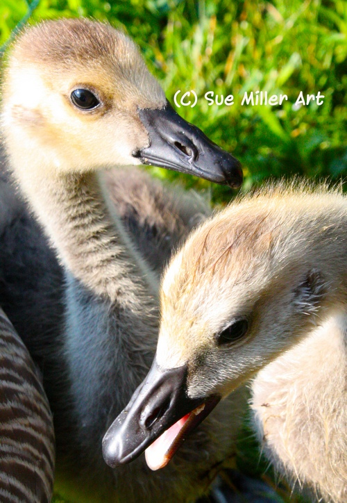 2 baby geese playing