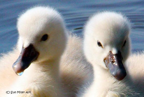 2 baby swan heads