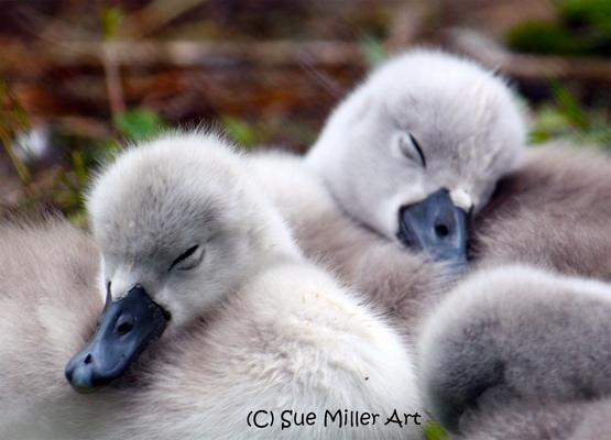 2 baby swans sleeping