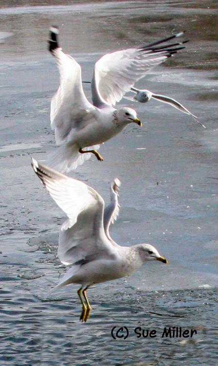 3 Seagulls flying