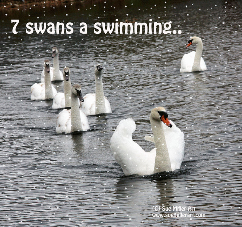 7 Swans a swimming smaller version2