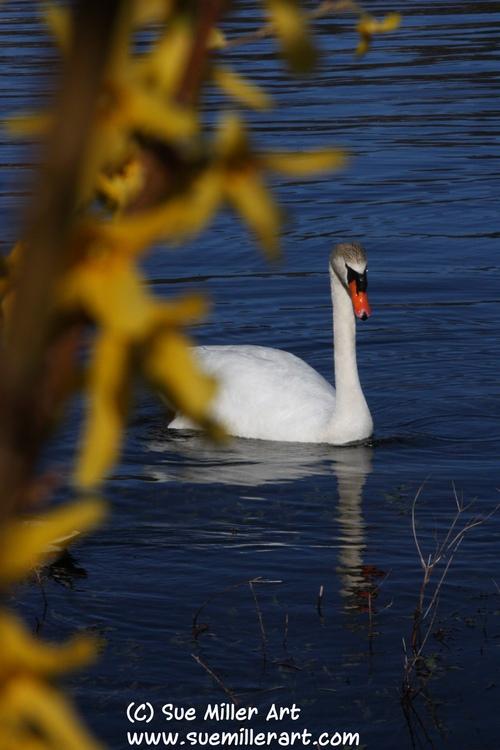 AA Swan