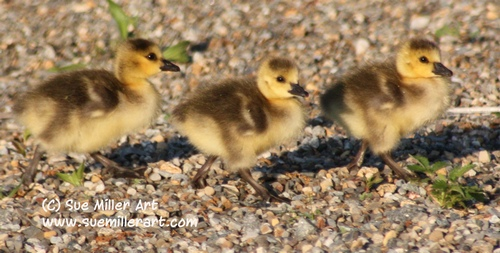3 Baby Geese Walking