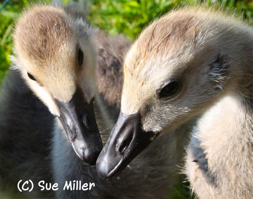 BABY GEESE HEADS