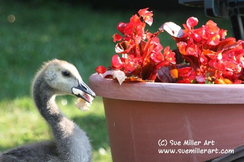 Baby Geese with Flower pot