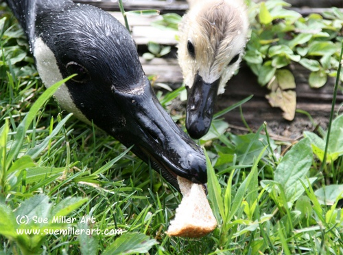 Baby Goose and Mom Eating