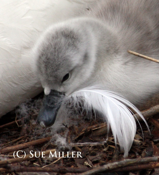 BABY SWAN HEAD W FEATHER