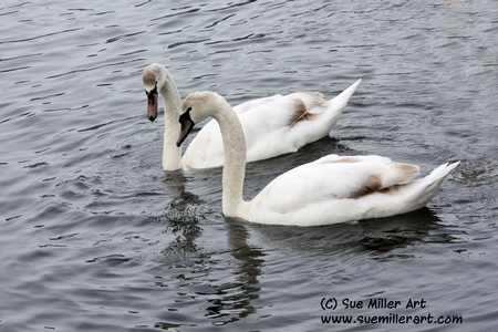 BABY SWANS IN DECEMBER