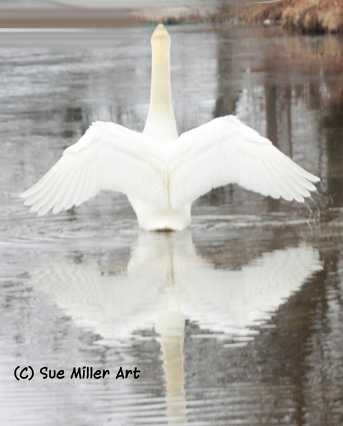 BACK OF A SWAN