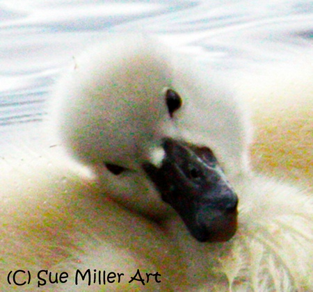 BEST BABY SWAN EVER CLOSE UP