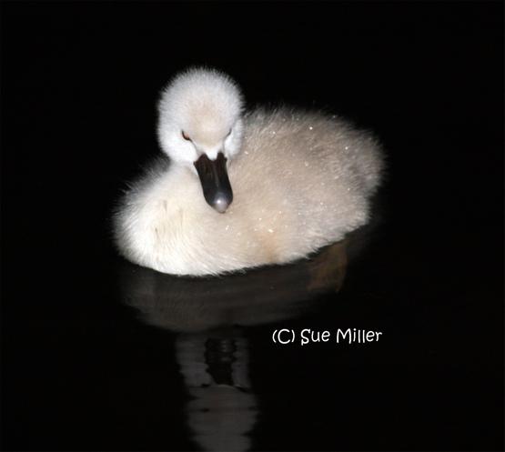 Baby swan 10
