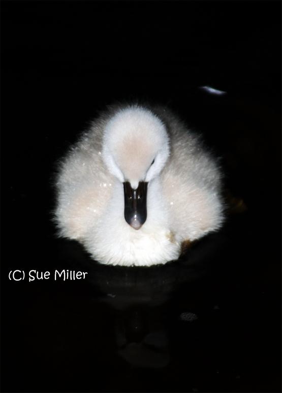 Baby swan after dark