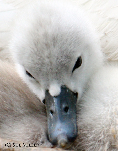 Baby swans face