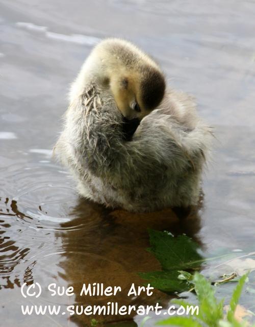 Chick Preening