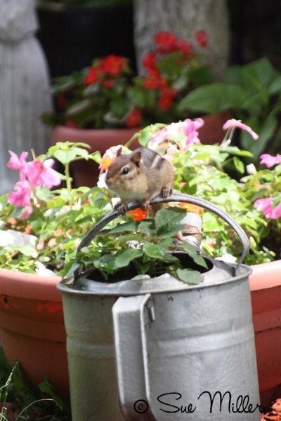 Chipmonk on flower pot