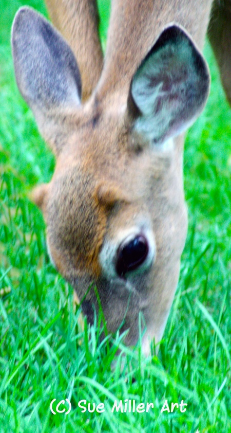 DEER EATING GRASS