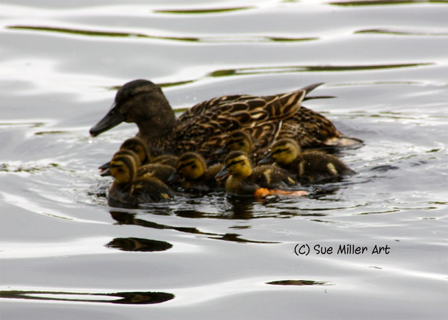 DUCK MOM WITH BABIES