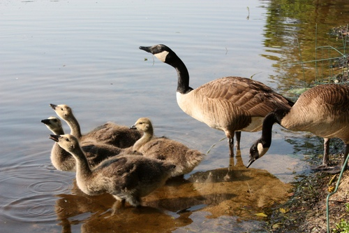GOOSE FAMILY DRINKING