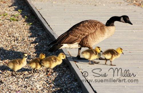 Goose Family on beach
