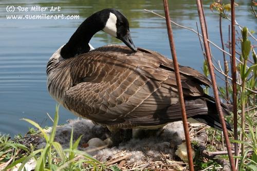 Goose mom over nest
