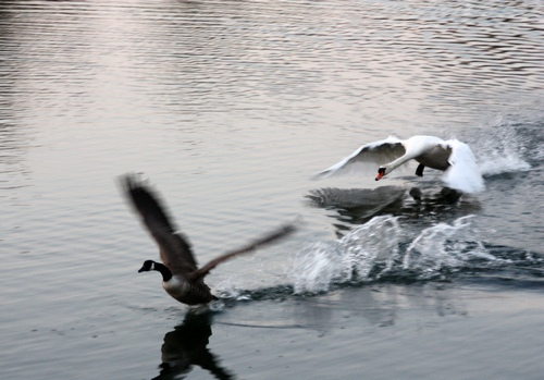 Swan Goose Chase