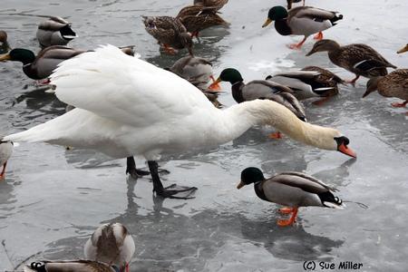 George & Ducks