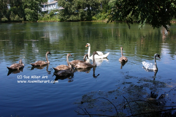 George & Lily family swans all 7 babies