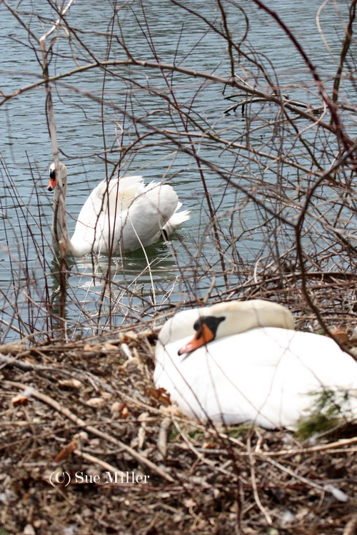 LILY ON NEST W GEORGE WATCHING