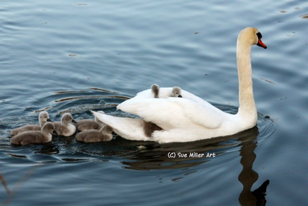 MOM SWAN  W BABIES RIDING HER