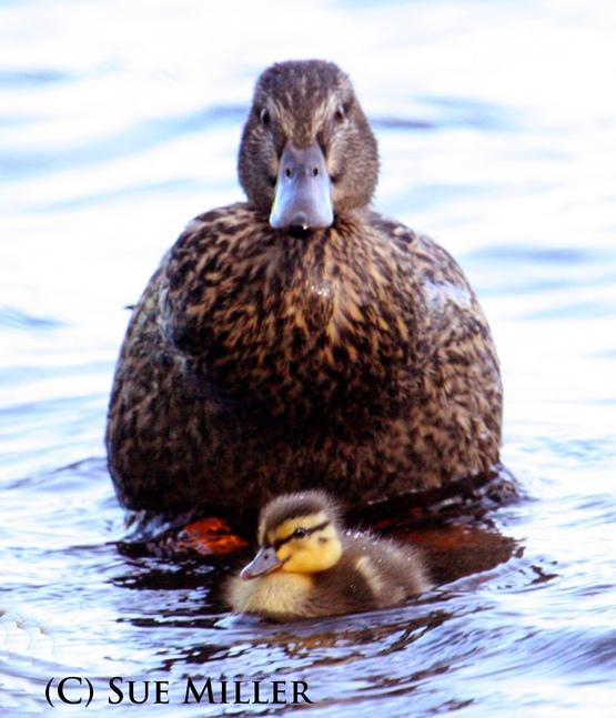 Mom Duck 7 baby