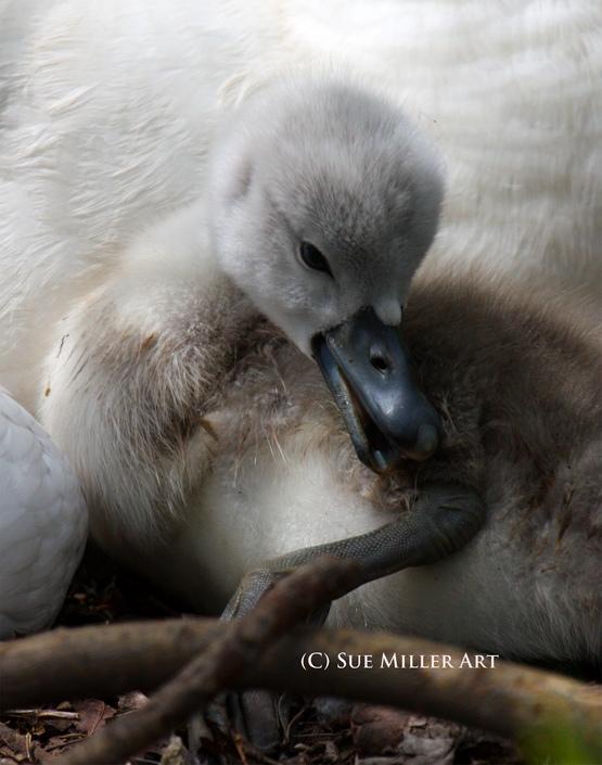 NEW BORN BABY SWAN