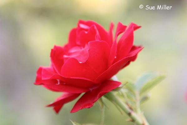 PROFILE OF ROSE