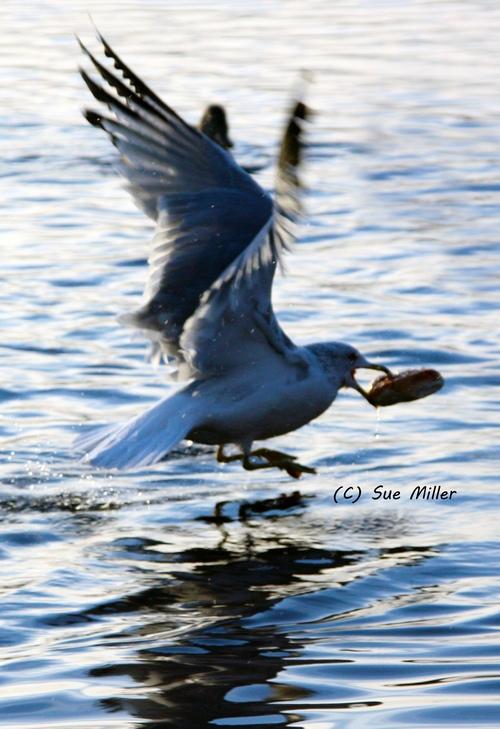 SEAGULL EATING BREAD & FLYING