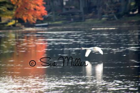 SWAN 2011 Fall flying