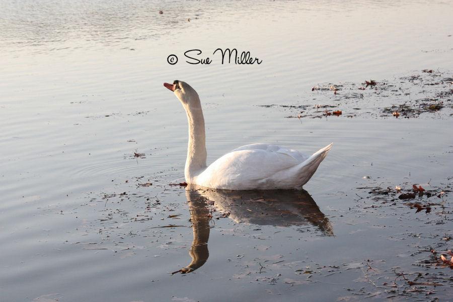 SWAN AT PEACE