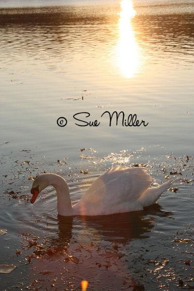 SWAN AT PEACE 2