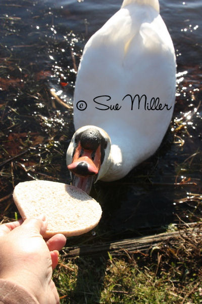 SWAN EATING FOOD FROM MY HAND
