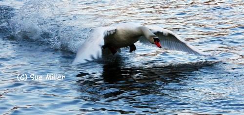 SWAN FLYING WILD