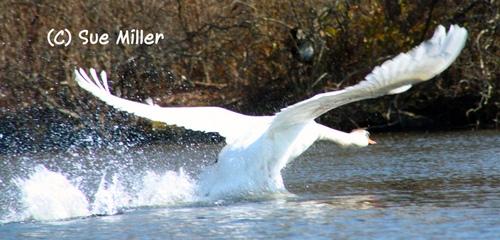 SWAN FLYING WILD 4