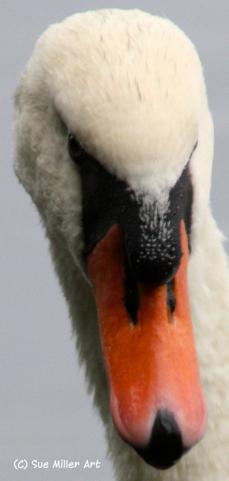 SWAN HEAD 5