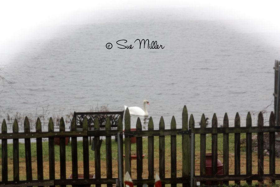 SWANS LATE NOV 2011