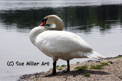 Swan Standing on Beach